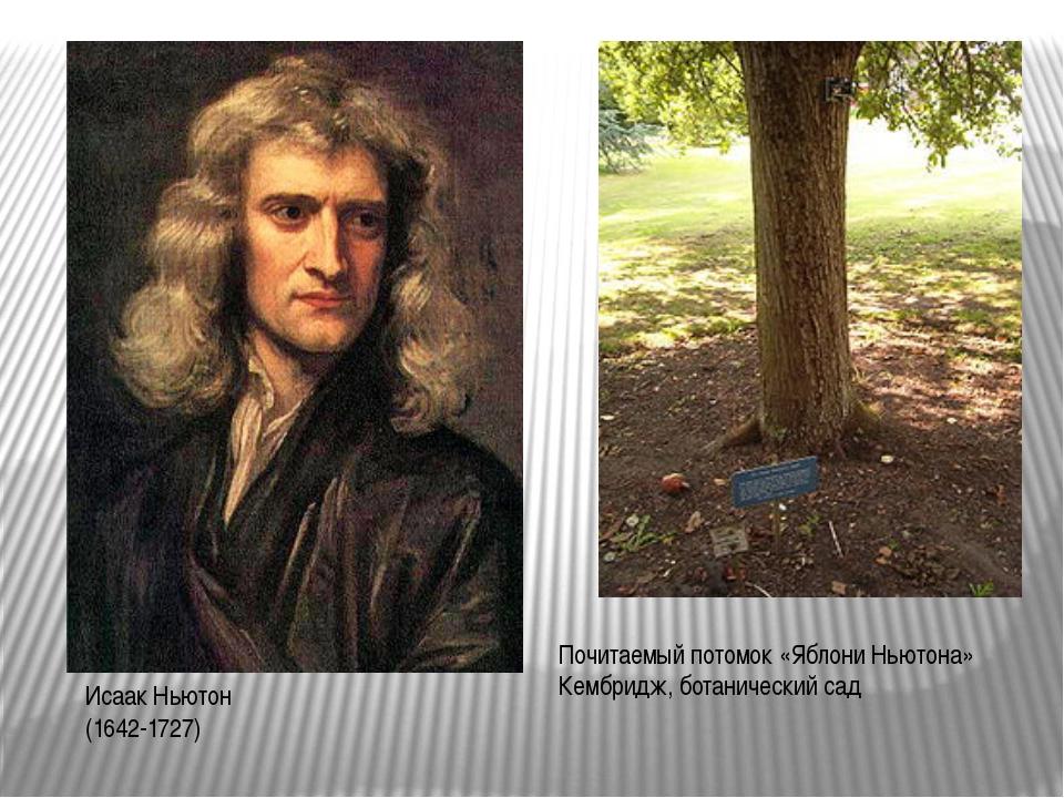 Исаак Ньютон (1642-1727) Почитаемый потомок «Яблони Ньютона» Кембридж, ботани...