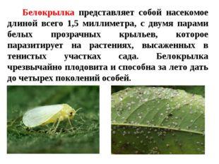 Белокрылка представляет собой насекомое длиной всего 1,5 миллиметра, с двумя
