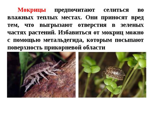 Мокрицы предпочитают селиться во влажных теплых местах. Они приносят вред тем...