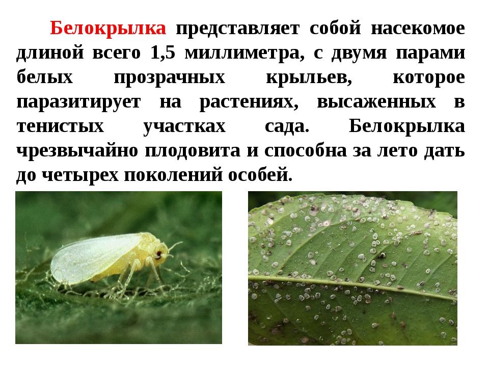Белокрылка представляет собой насекомое длиной всего 1,5 миллиметра, с двумя...