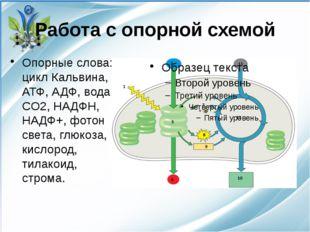 Работа с опорной схемой Опорные слова: цикл Кальвина, АТФ, АДФ, вода, CO2, НА