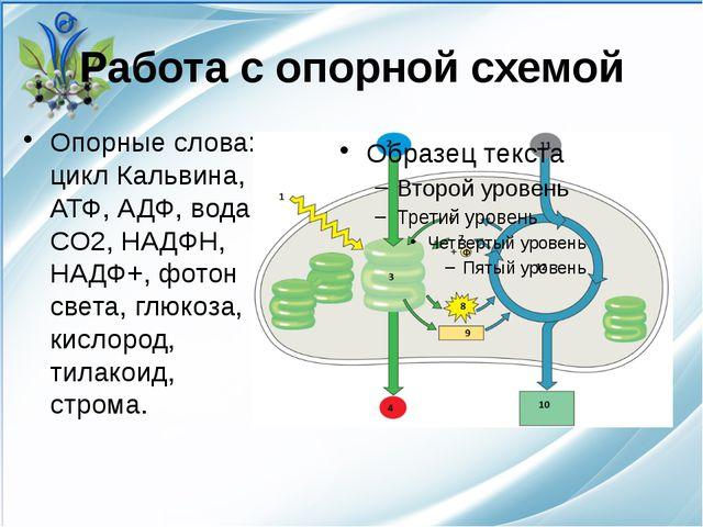 Работа с опорной схемой Опорные слова: цикл Кальвина, АТФ, АДФ, вода, CO2, НА...