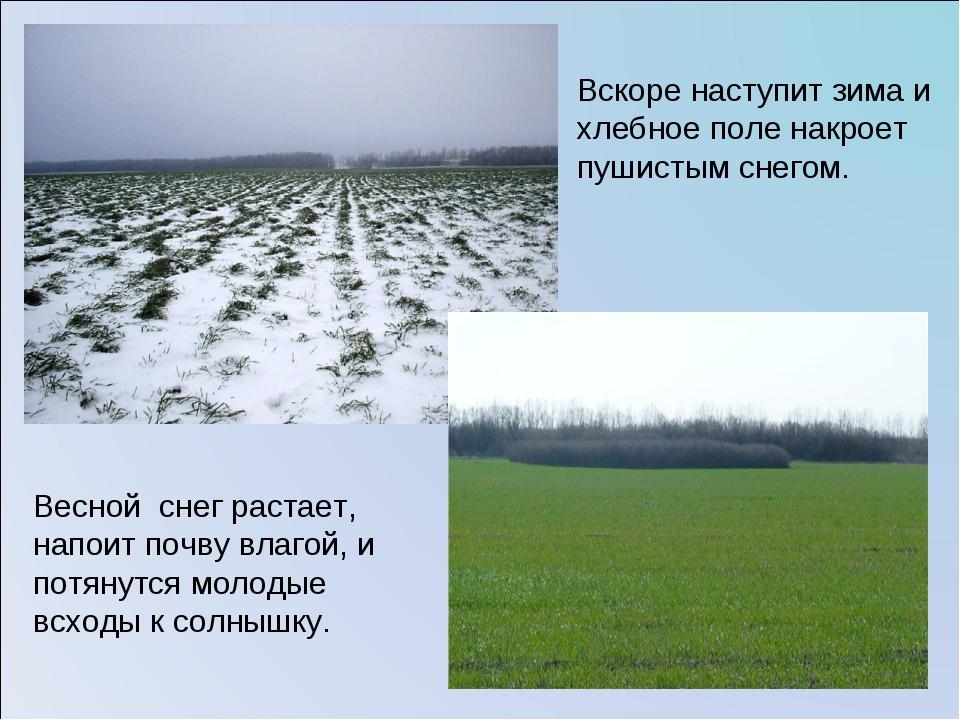 Вскоре наступит зима и хлебное поле накроет пушистым снегом. Весной снег раст...