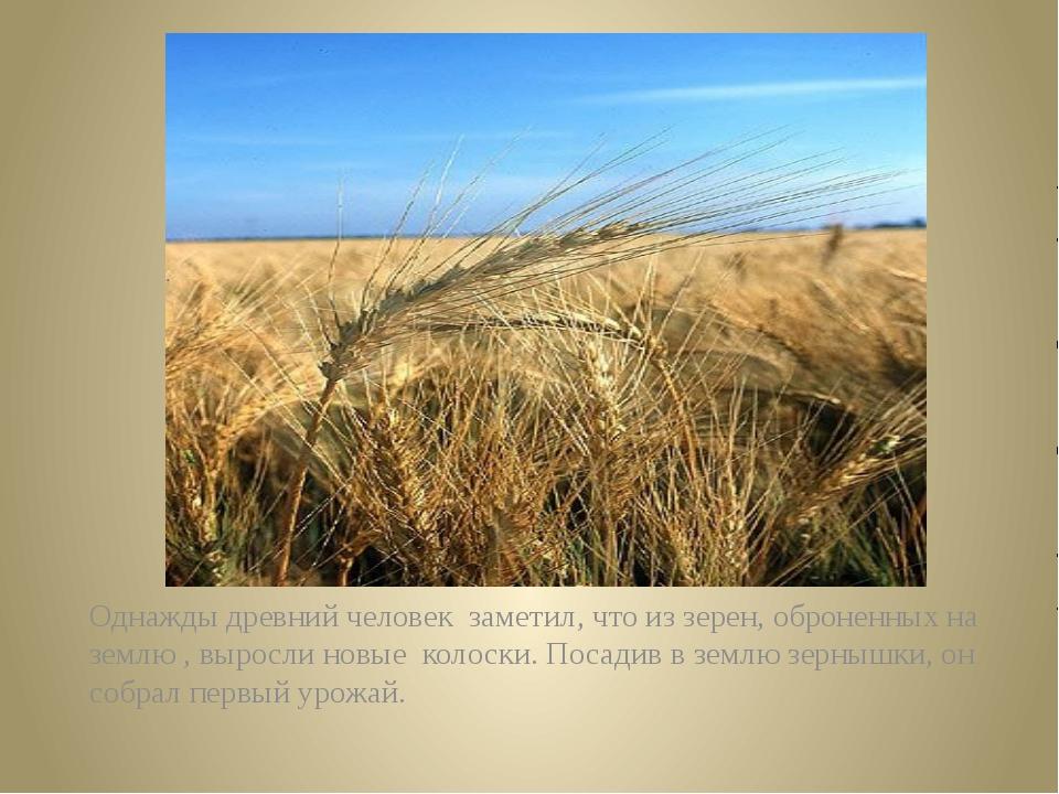 Однажды древний человек  заметил, что из зерен, оброненных на землю , выросли...