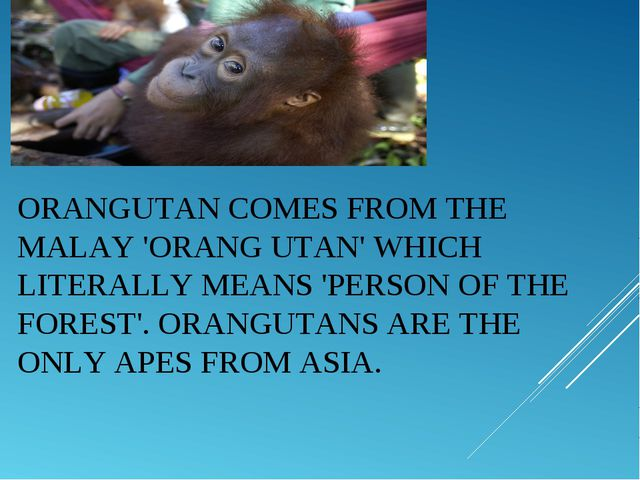 ORANGUTANCOMES FROM THE MALAY 'ORANG UTAN' WHICH LITERALLY MEANS 'PERSON OF...