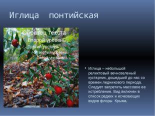 Иглица понтийская Иглица – небольшой реликтовый вечнозеленый кустарник, дошед
