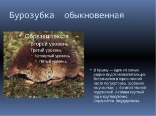 Бурозубка обыкновенная В Крыму — один из самых редких видов млекопитающих. Вс