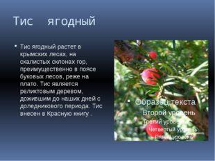 Тис ягодный Тис ягодный растет в крымских лесах, на скалистых склонах гор, пр