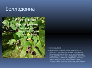 Белладонна Реликтовый вид. Многолетнее травянистое растение 60-120 м высотой