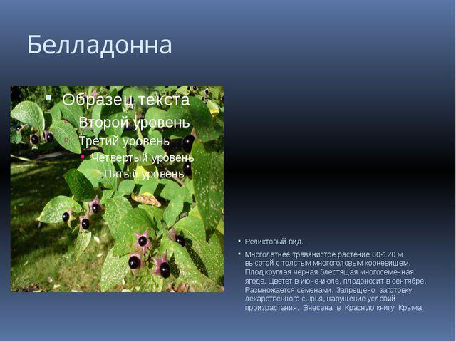 Белладонна Реликтовый вид. Многолетнее травянистое растение 60-120 м высотой...