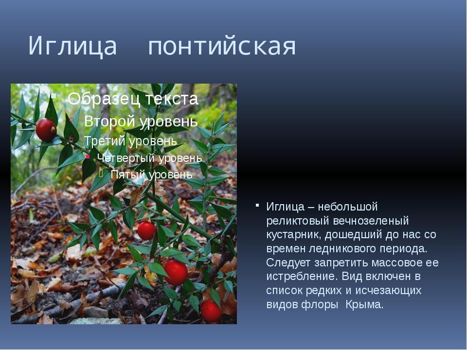 Иглица понтийская Иглица – небольшой реликтовый вечнозеленый кустарник, дошед...