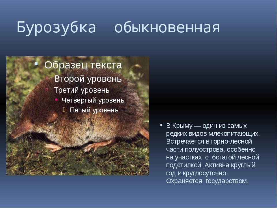 Бурозубка обыкновенная В Крыму — один из самых редких видов млекопитающих. Вс...