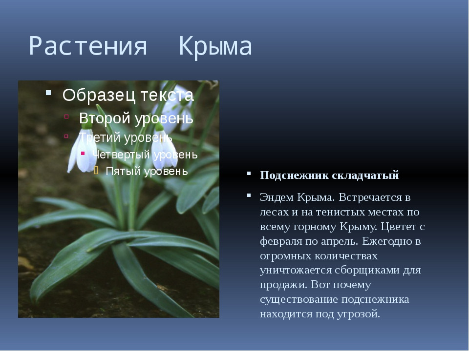 Растения Крыма Подснежник складчатый Эндем Крыма. Встречается в лесах и на те...