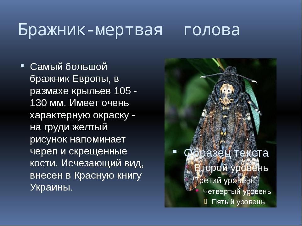 Бражник-мертвая голова Самый большой бражник Европы, в размахе крыльев 105 -...