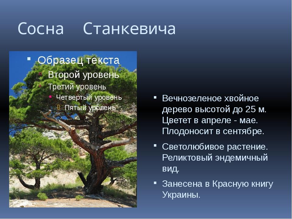 Сосна Станкевича Вечнозеленое хвойное дерево высотой до 25 м. Цветет в апреле...