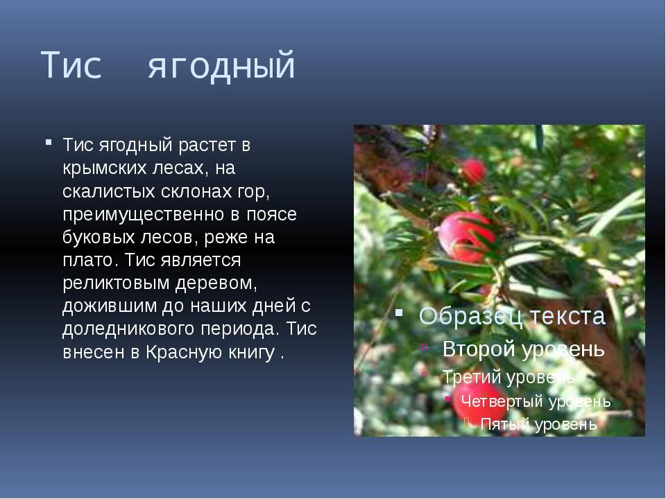 Тис ягодный Тис ягодный растет в крымских лесах, на скалистых склонах гор, пр...