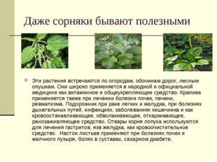 Даже сорняки бывают полезными Эти растения встречаются по огородам, обочинам