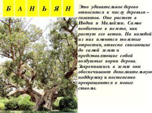 Это удивительное дерево относится к числу деревьев – гигантов. Оно растет в