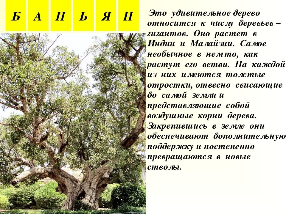Это удивительное дерево относится к числу деревьев – гигантов. Оно растет в...