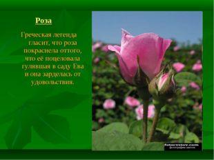 Роза Греческая легенда гласит, что роза покраснела оттого, что её поцеловала