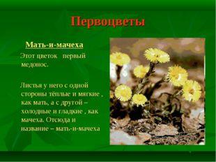 Первоцветы Мать-и-мачеха Этот цветок первый медонос. Листья у него с одной ст