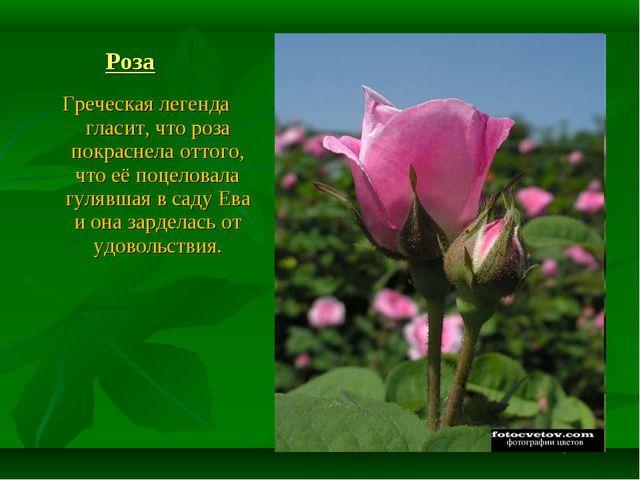 Роза Греческая легенда гласит, что роза покраснела оттого, что её поцеловала...