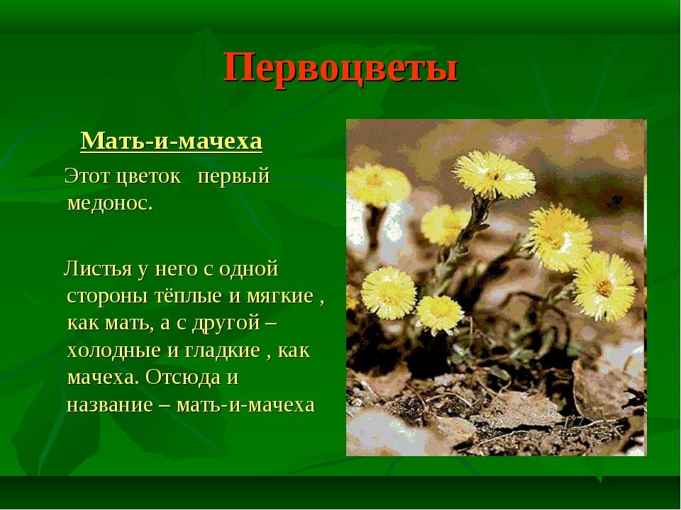 Первоцветы Мать-и-мачеха Этот цветок первый медонос. Листья у него с одной ст...