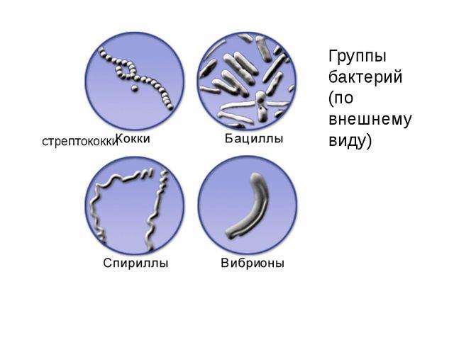 Группы бактерий (по внешнему виду) стрептококки