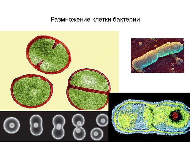 Размножение клетки бактерии