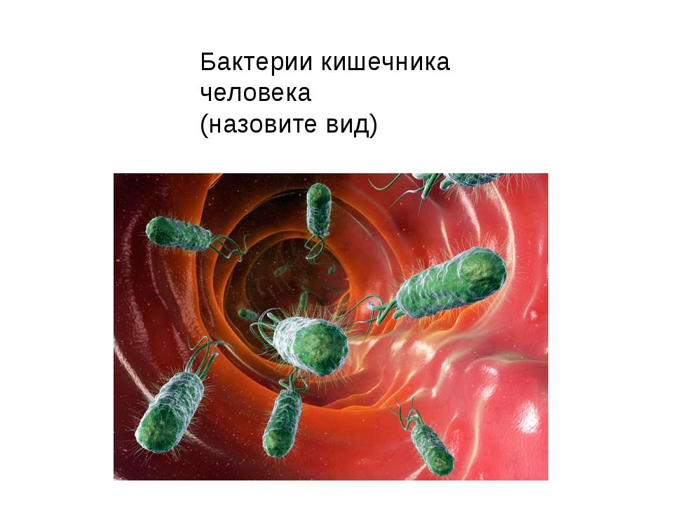 Бактерии кишечника человека (назовите вид)