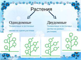 Растения Однодомные Тычиночные и пестичные цветки на одном растении Двудомны
