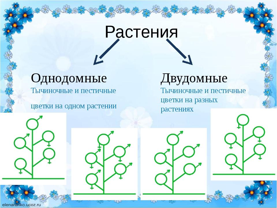Растения Однодомные Тычиночные и пестичные цветки на одном растении Двудомны...