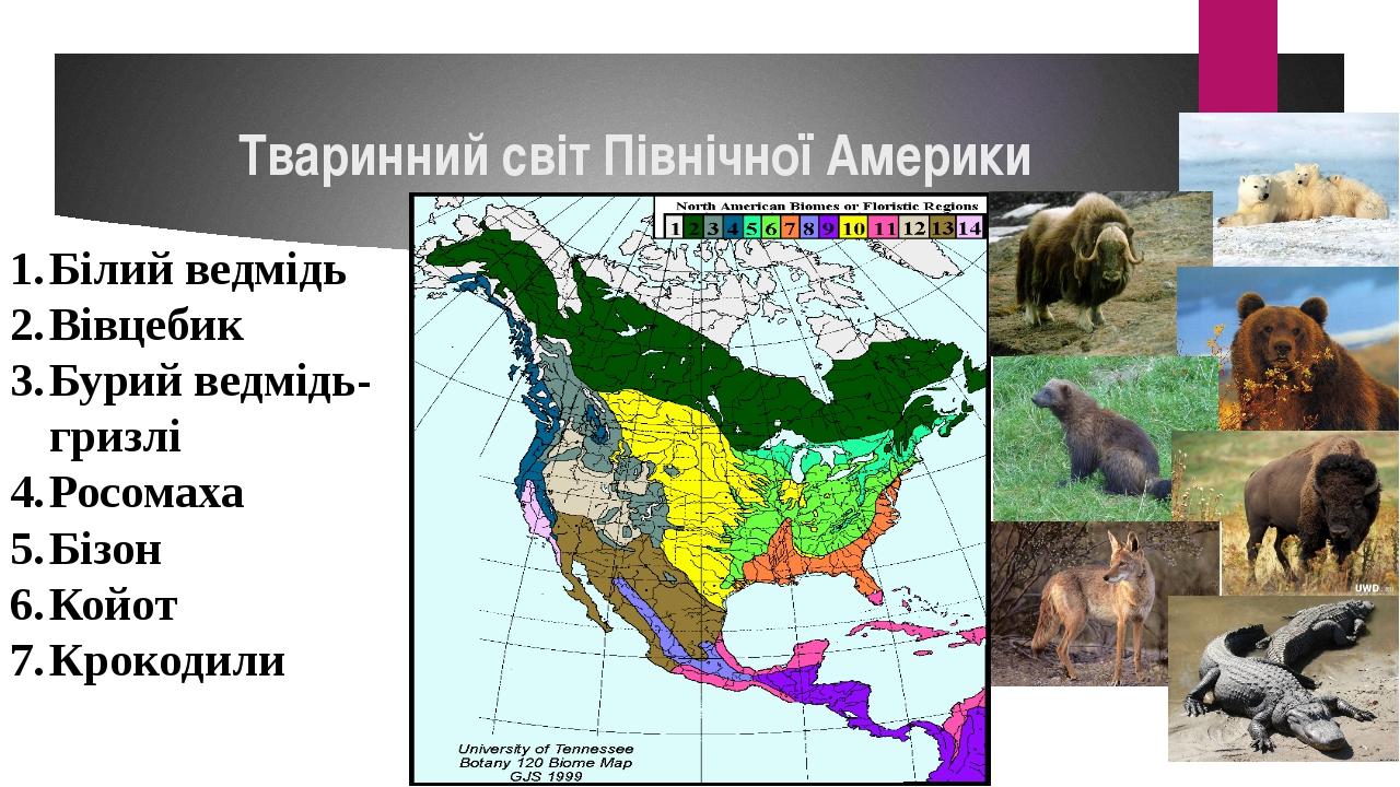 Тваринний світ Північної Америки Білий ведмідь Вівцебик Бурий ведмідь-гризлі...