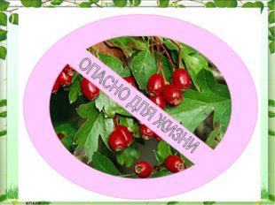 Волчье лыко При употреблении ягод возникает резкое жжение во рту, затем отёк
