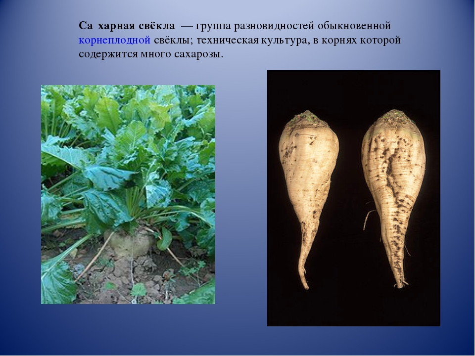 Са́харная свёкла — группа разновидностей обыкновенной корнеплодной свёклы; т...