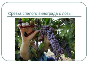 Срезка спелого винограда с лозы