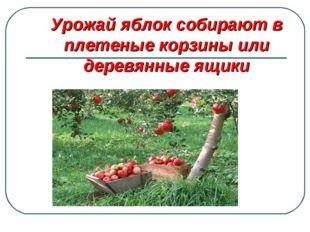 Урожай яблок собирают в плетеные корзины или деревянные ящики