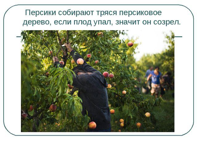 Персики собирают тряся персиковое дерево, если плод упал, значит он созрел.
