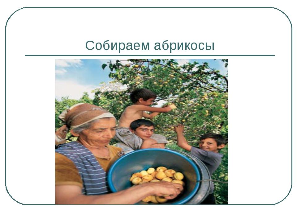 Собираем абрикосы