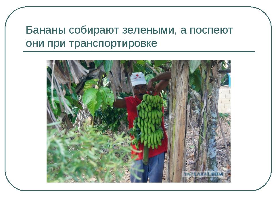 Бананы собирают зелеными, а поспеют они при транспортировке