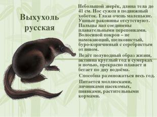 Выхухоль русская Небольшой зверёк, длина тела до 41 см. Нос сужен в подвижный