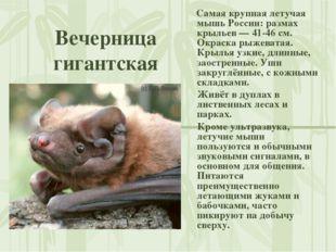 Вечерница гигантская Самая крупная летучая мышь России: размах крыльев — 41-4