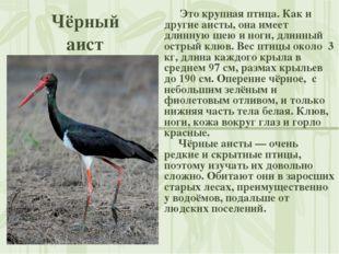 Чёрный аист Это крупная птица. Как и другие аисты, она имеет длинную шею и но