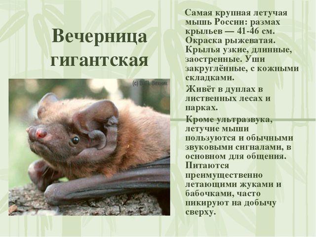 Вечерница гигантская Самая крупная летучая мышь России: размах крыльев — 41-4...