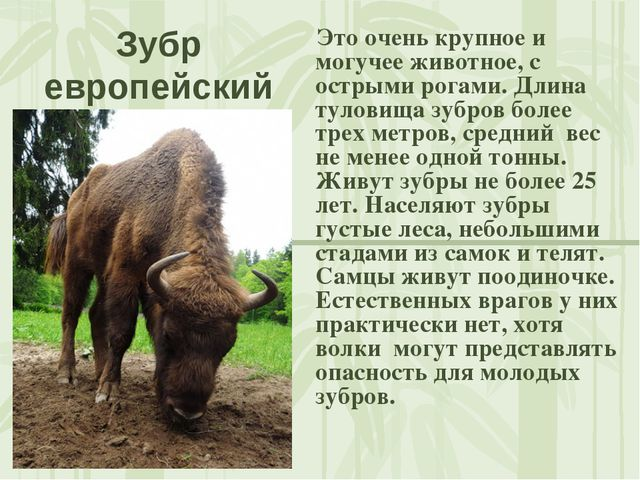 Зубр европейский Это очень крупное и могучее животное, с острыми рогами. Длин...