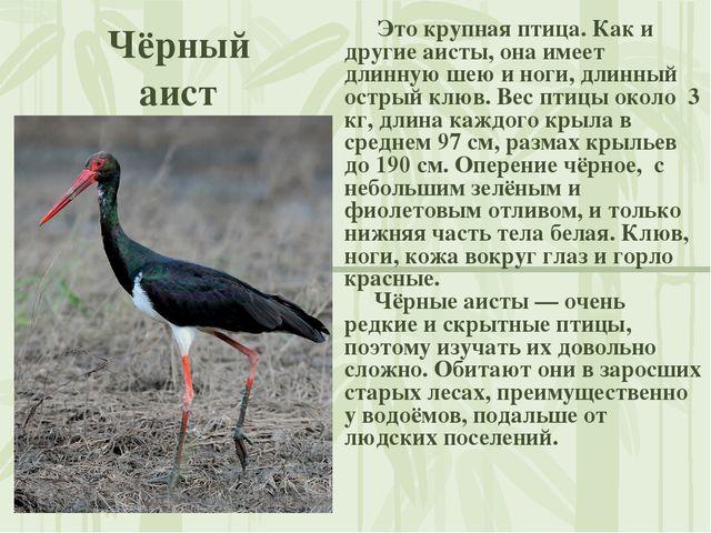 Чёрный аист Это крупная птица. Как и другие аисты, она имеет длинную шею и но...