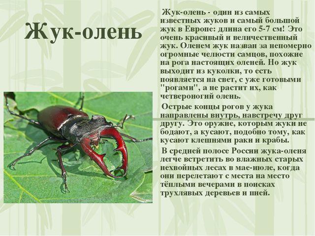 Жук-олень Жук-олень - один из самых известных жуков и самый большой жук в Евр...