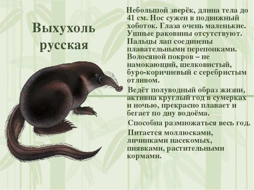 Выхухоль русская Небольшой зверёк, длина тела до 41 см. Нос сужен в подвижный...