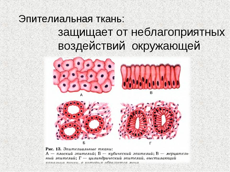 Эпителиальная ткань: защищает от неблагоприятных воздействий окружающей среды