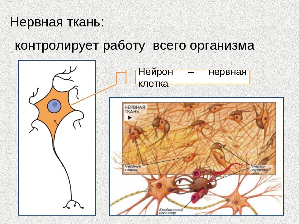 Нервная ткань: контролирует работу всего организма Нейрон – нервная клетка